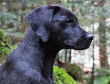 Rigz - Labrador