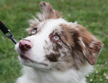 Little Fighter / Australian Shepherd