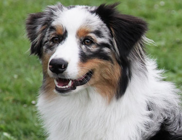 Little Fighter Australian Shepherd